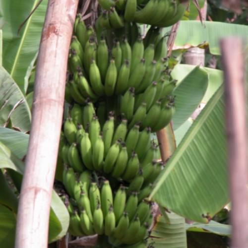 Bananen frisch ab Palme